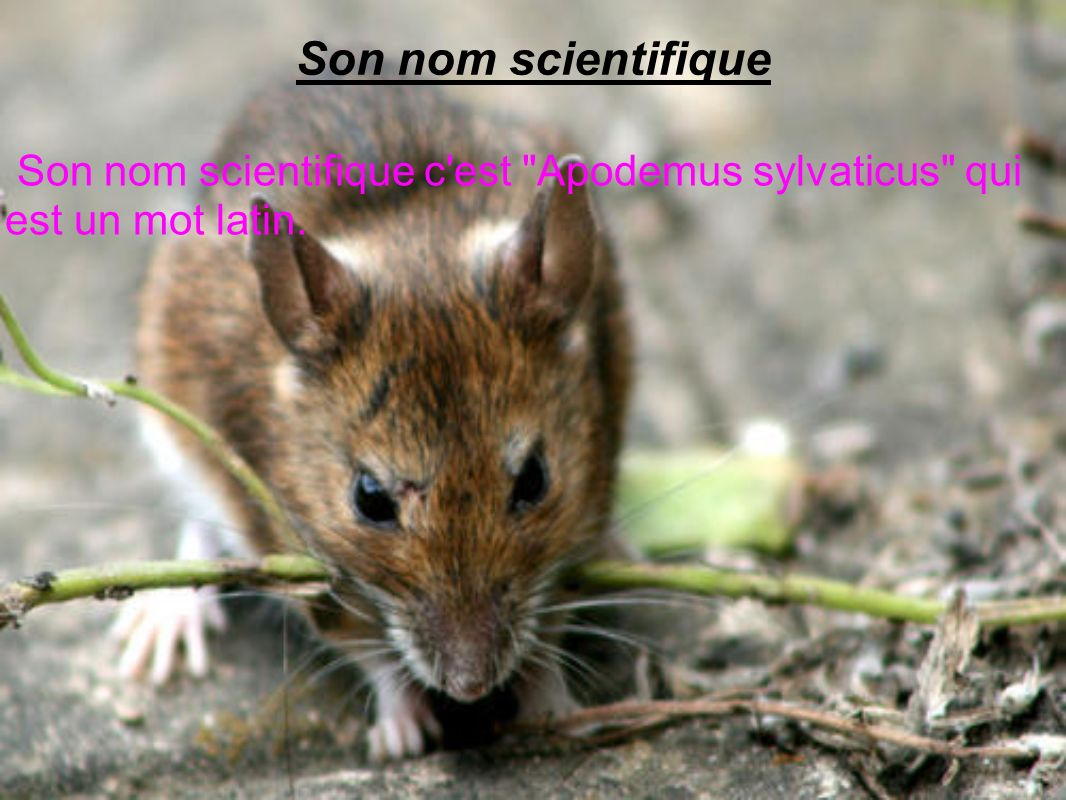 Son nom scientifique Son nom scientifique c est Apodemus sylvaticus qui est un mot latin.
