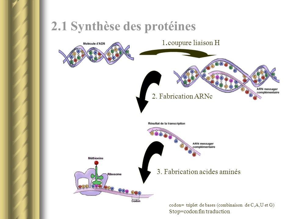 2.1 Synthèse des protéines