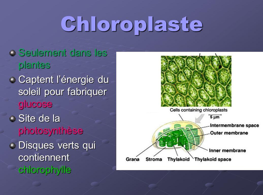 Chloroplaste Seulement dans les plantes