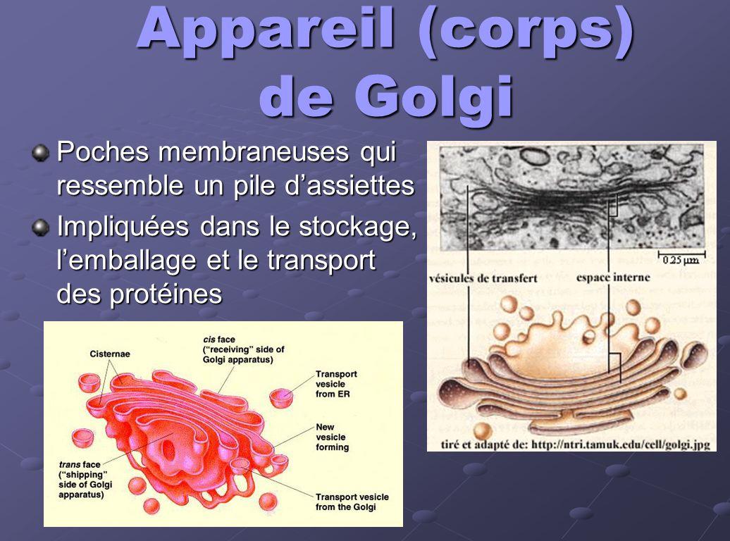Appareil (corps) de Golgi
