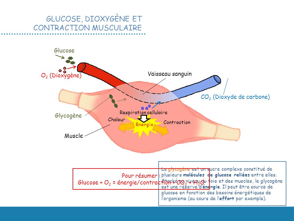 Glucose + O2 = énergie/contraction + CO2 + H2O