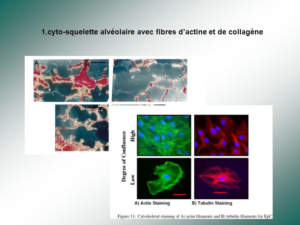 1.cyto-squelette alvéolaire avec fibres d'actine et de collagène