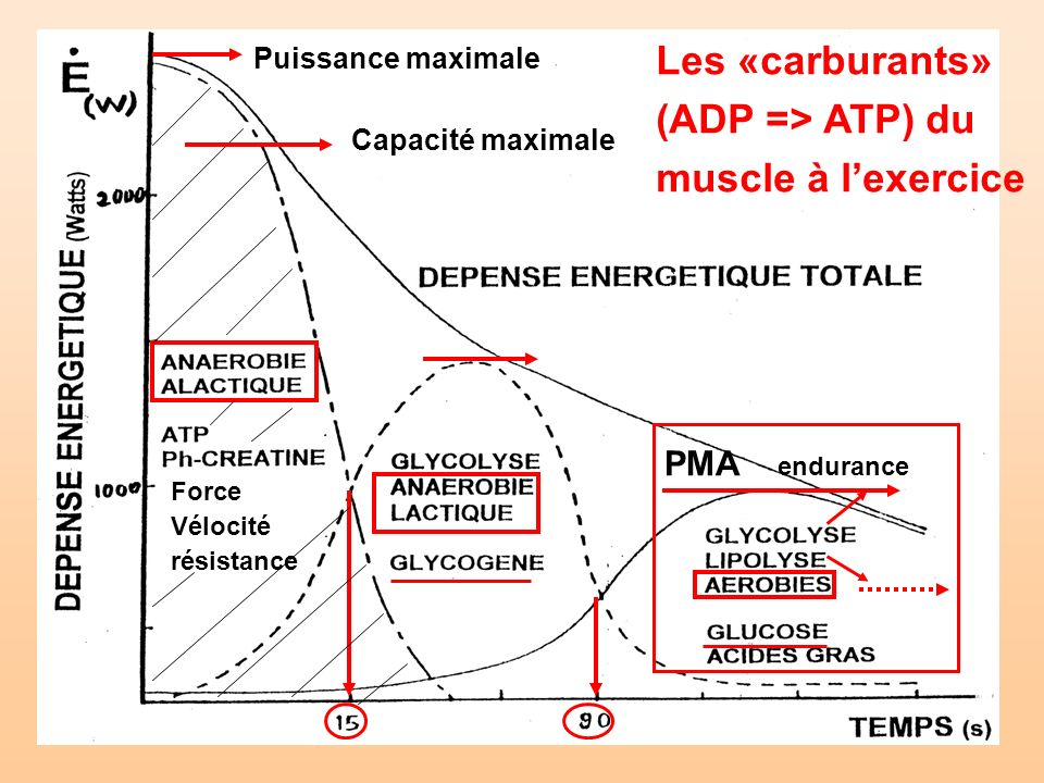 Les «carburants» (ADP => ATP) du muscle à l'exercice PMA endurance