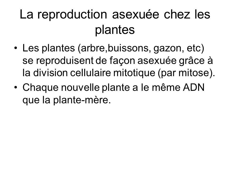 La reproduction asexuée chez les plantes