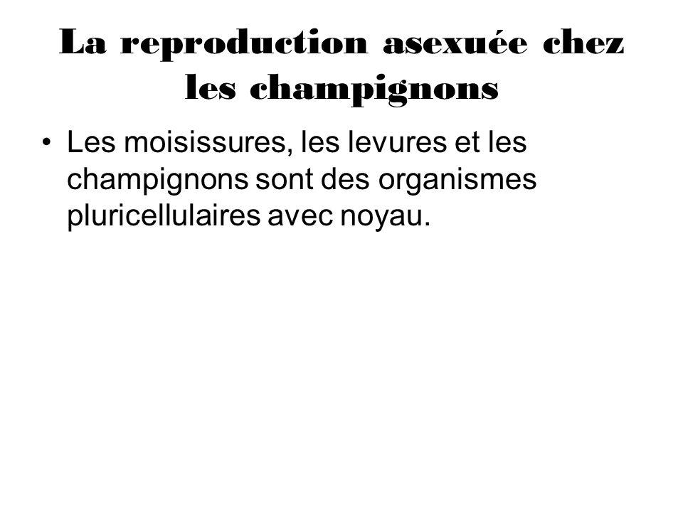 La reproduction asexuée chez les champignons