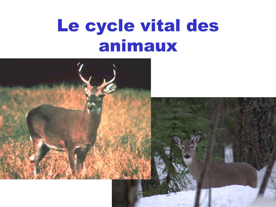 le cycle vital des animaux ppt video online t l charger. Black Bedroom Furniture Sets. Home Design Ideas
