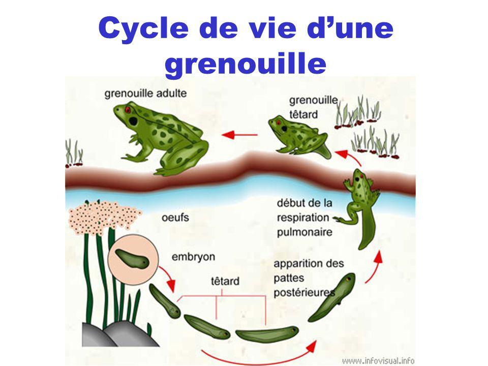 Cycle de vie d'une grenouille