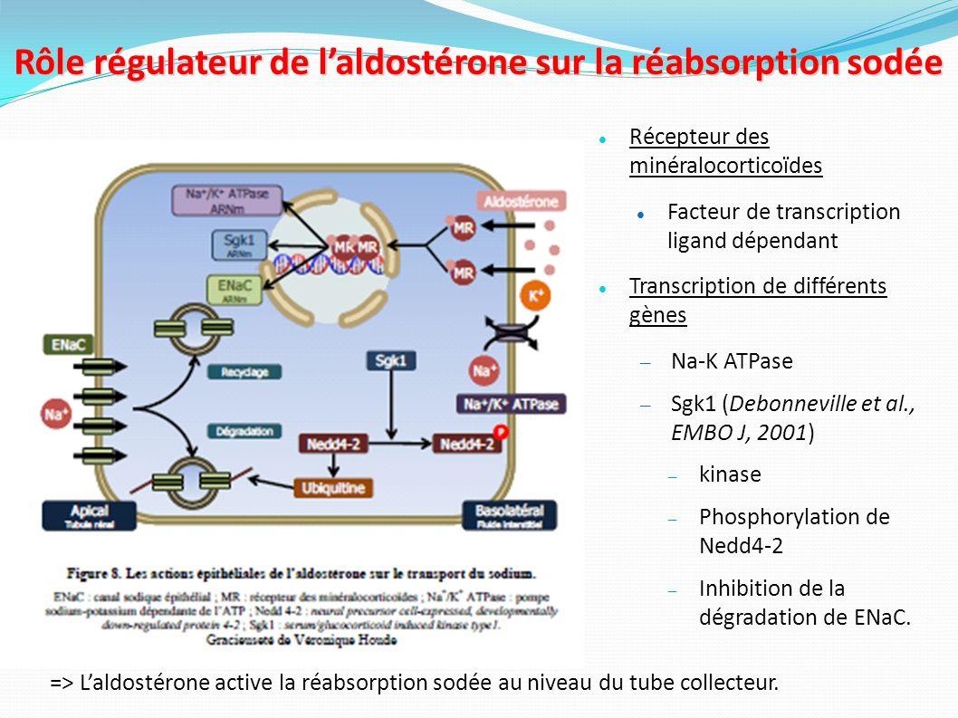 Rôle régulateur de l'aldostérone sur la réabsorption sodée