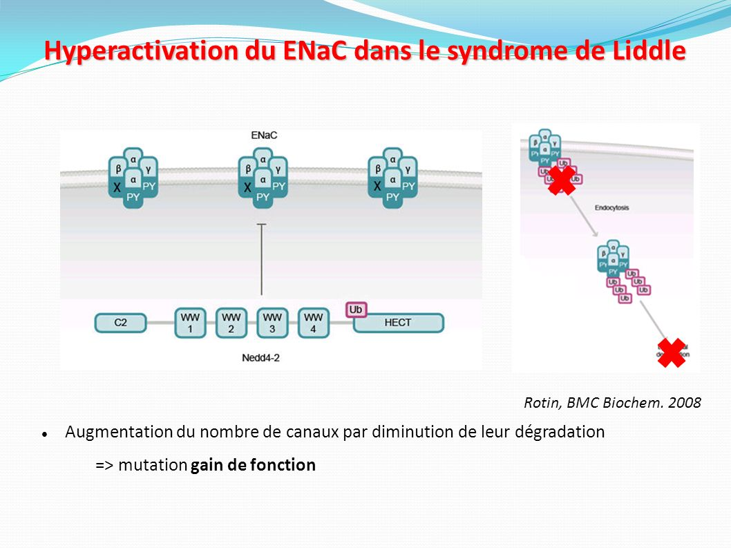 Hyperactivation du ENaC dans le syndrome de Liddle