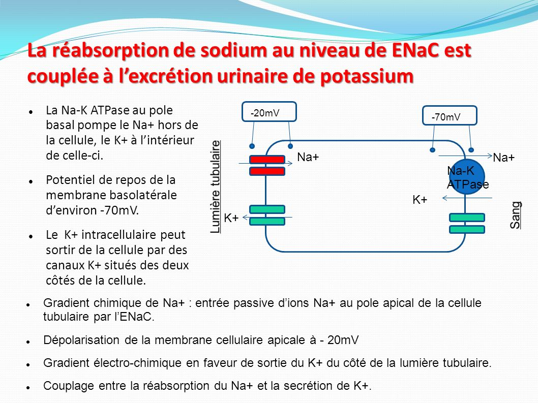 La réabsorption de sodium au niveau de ENaC est couplée à l'excrétion urinaire de potassium