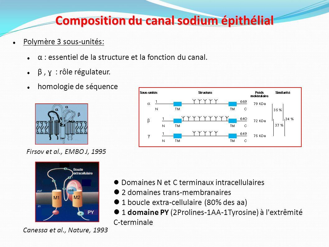 Composition du canal sodium épithélial
