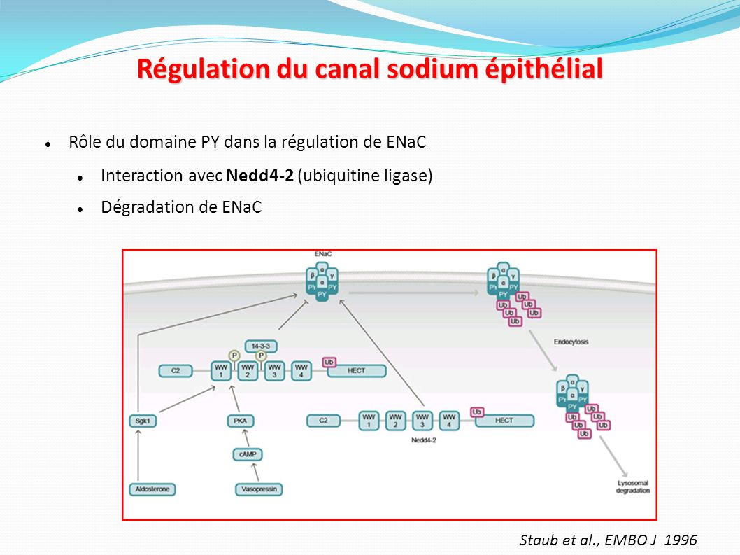 Régulation du canal sodium épithélial