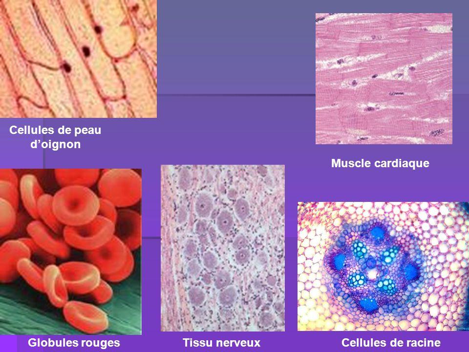 Cellules de peau d'oignon