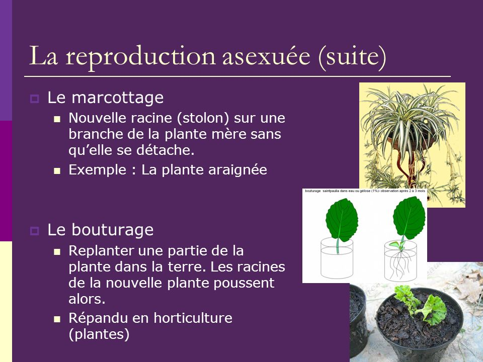 La reproduction asexuée (suite)