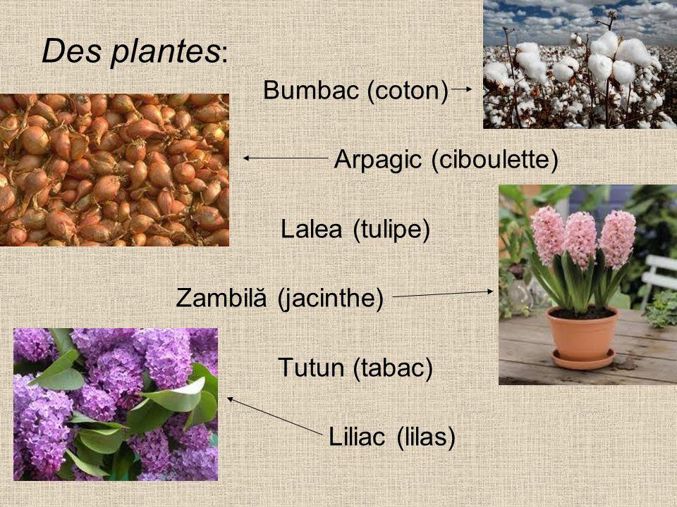 Des plantes: Bumbac (coton) Arpagic (ciboulette) Lalea (tulipe)