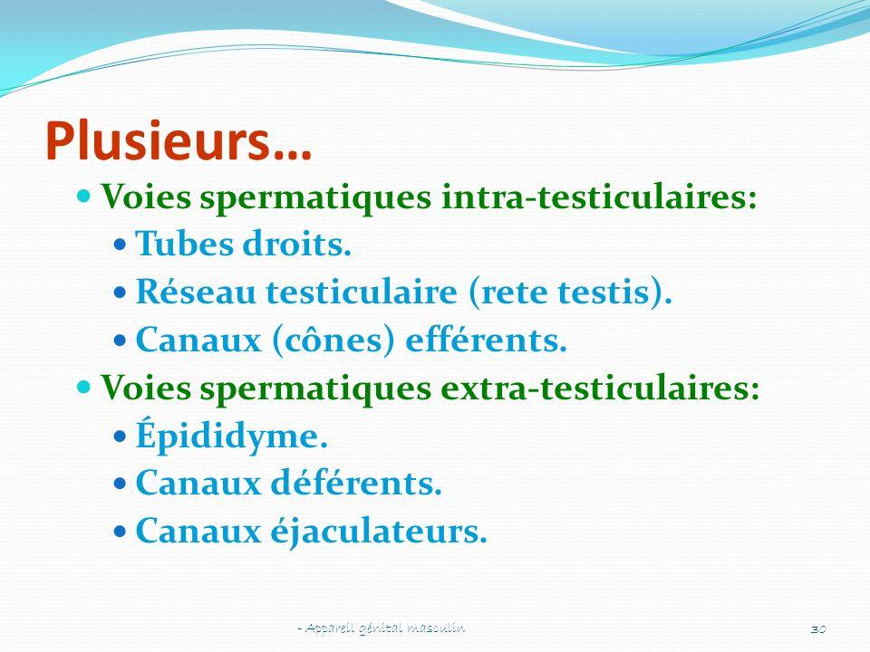 Plusieurs… Voies spermatiques intra-testiculaires: Tubes droits.
