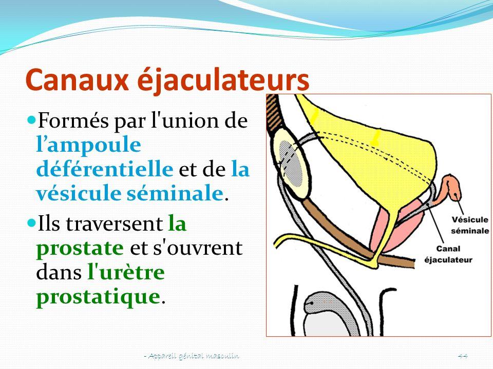 Canaux éjaculateurs Formés par l union de l'ampoule déférentielle et de la vésicule séminale.