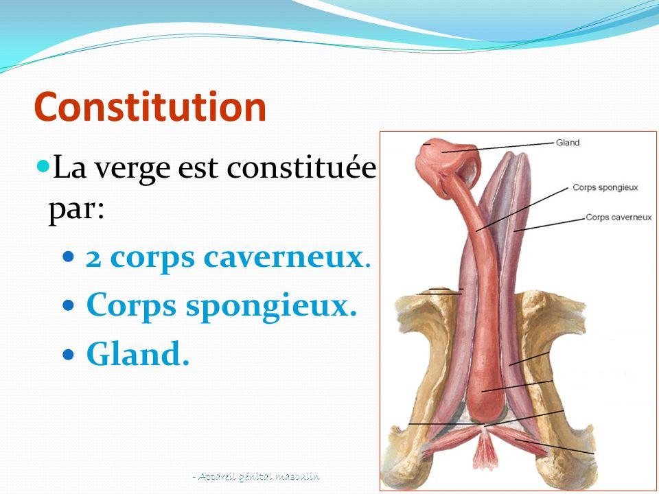 Constitution La verge est constituée par: 2 corps caverneux.