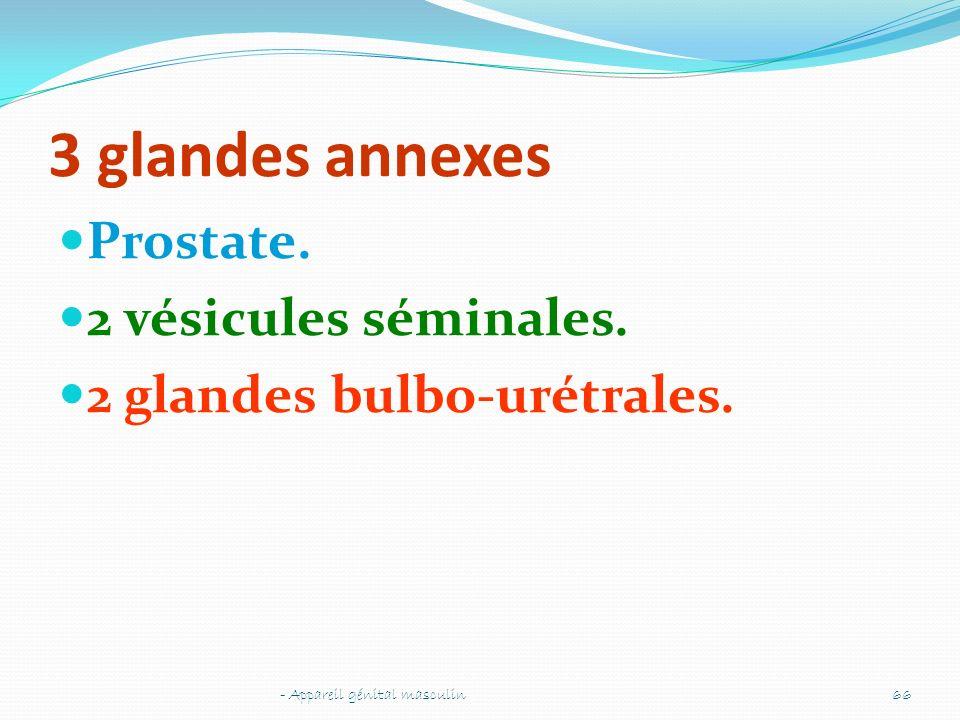 3 glandes annexes Prostate. 2 vésicules séminales.