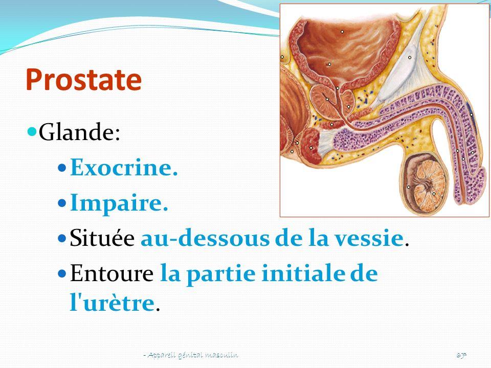 Prostate Glande: Exocrine. Impaire. Située au-dessous de la vessie.