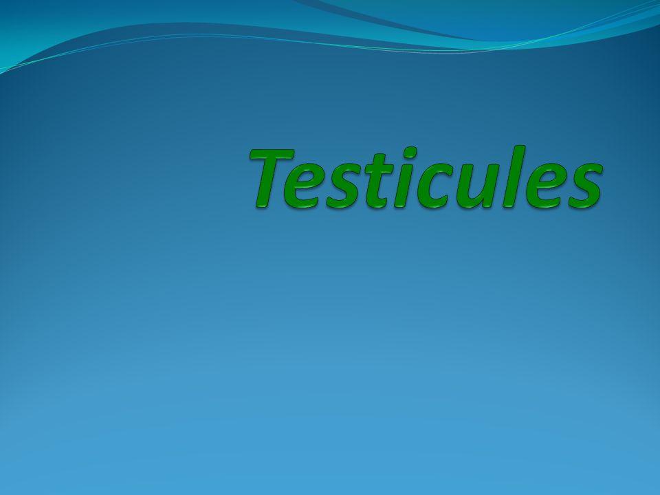 Testicules