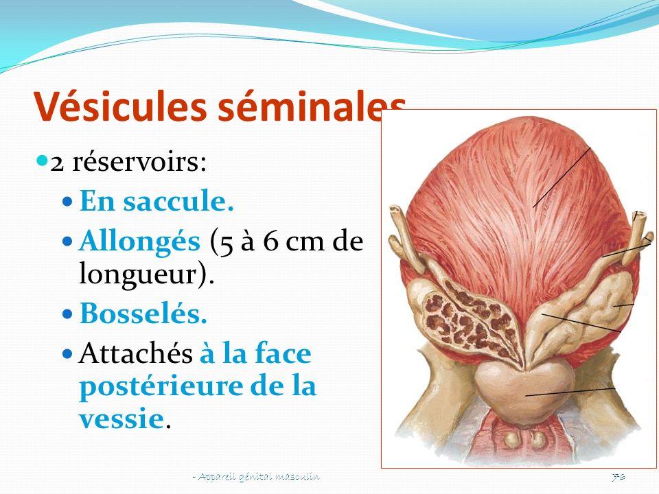 Vésicules séminales 2 réservoirs: En saccule.