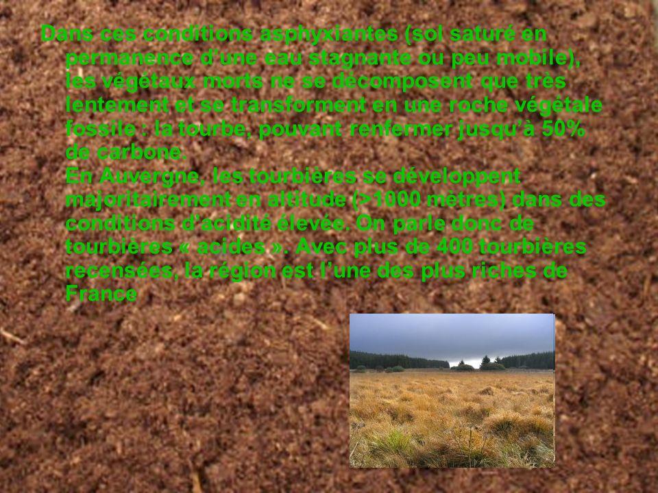 Dans ces conditions asphyxiantes (sol saturé en permanence d'une eau stagnante ou peu mobile), les végétaux morts ne se décomposent que très lentement et se transforment en une roche végétale fossile : la tourbe, pouvant renfermer jusqu'à 50% de carbone. En Auvergne, les tourbières se développent majoritairement en altitude (>1000 mètres) dans des conditions d'acidité élevée. On parle donc de tourbières « acides ». Avec plus de 400 tourbières recensées, la région est l'une des plus riches de France