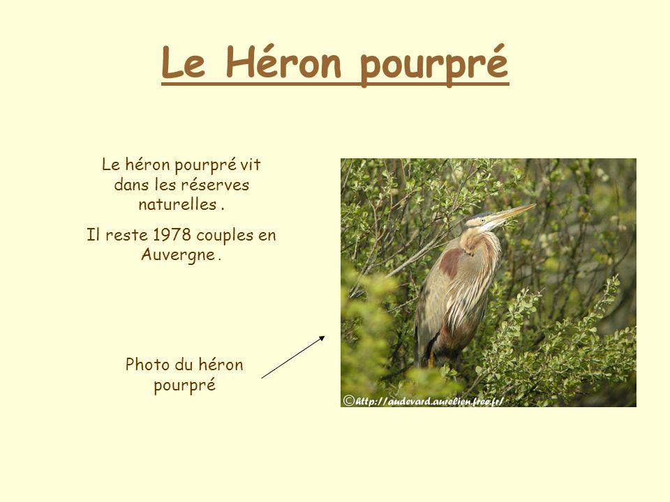 Le Héron pourpré Le héron pourpré vit dans les réserves naturelles .