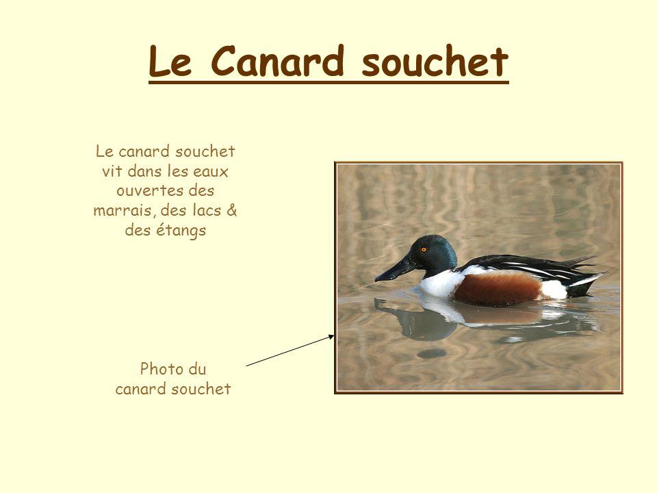 Photo du canard souchet