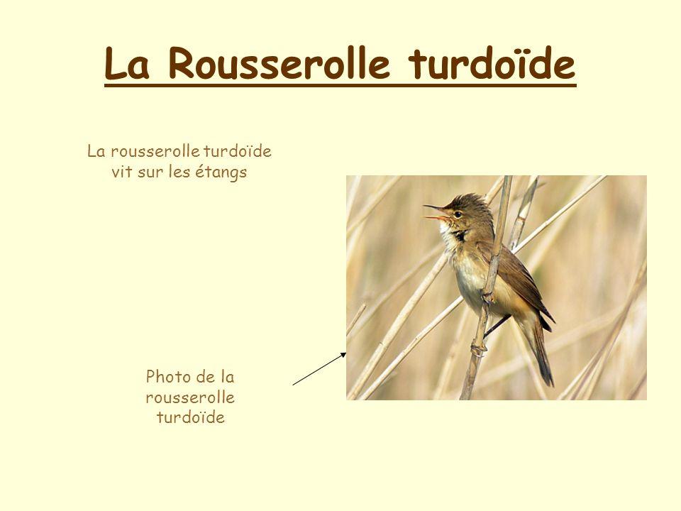 La Rousserolle turdoïde