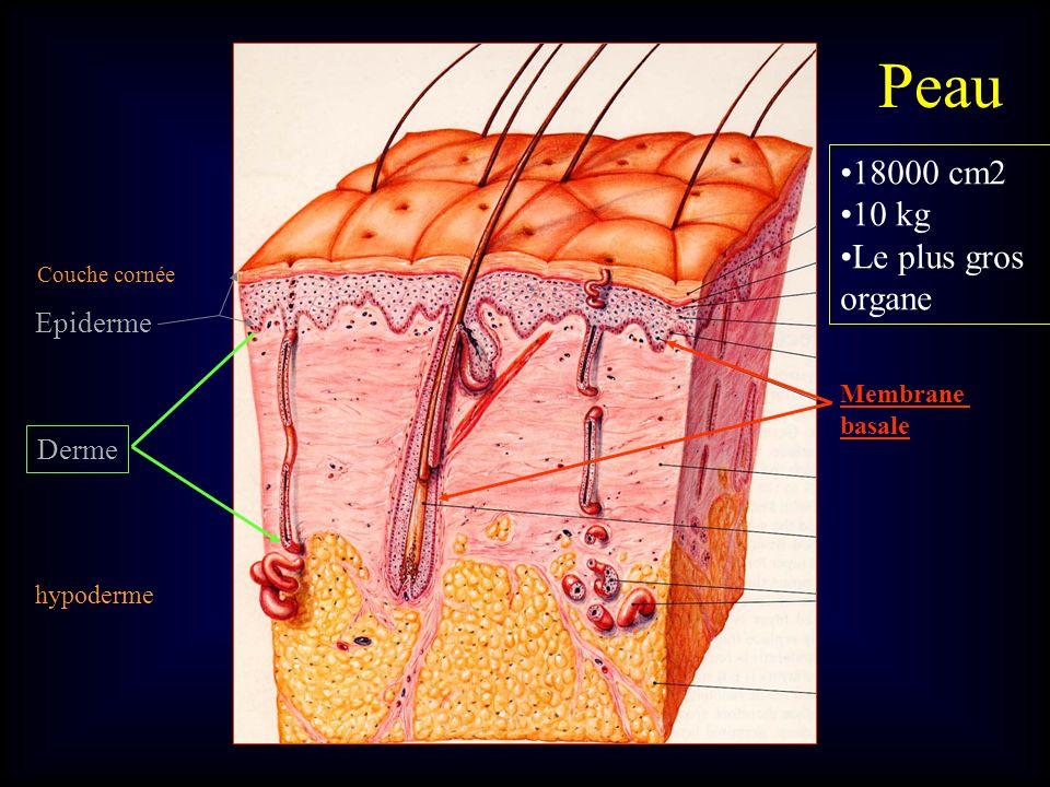 Peau 18000 cm2 10 kg Le plus gros organe Epiderme Derme Membrane