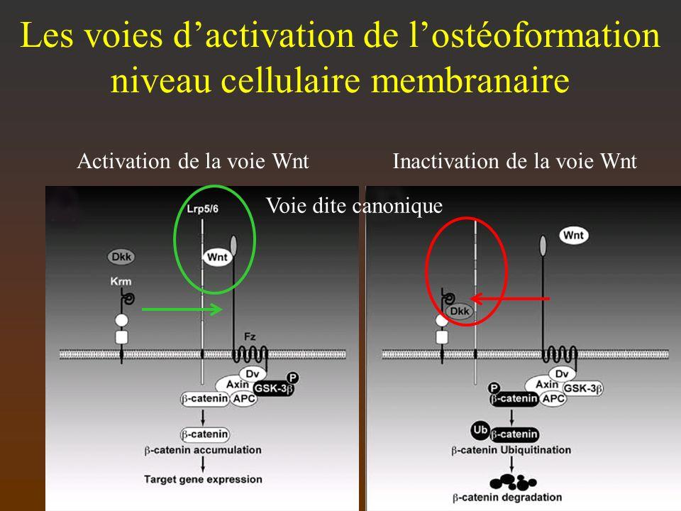 Les voies d'activation de l'ostéoformation niveau cellulaire membranaire