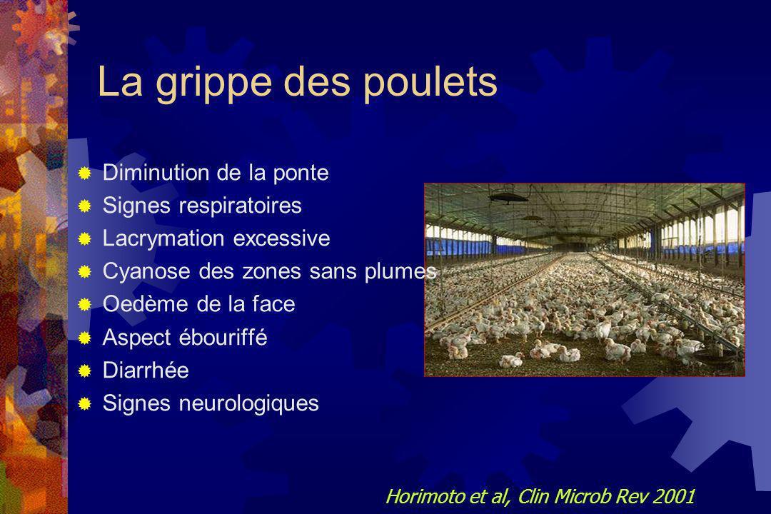 La grippe des poulets Diminution de la ponte Signes respiratoires
