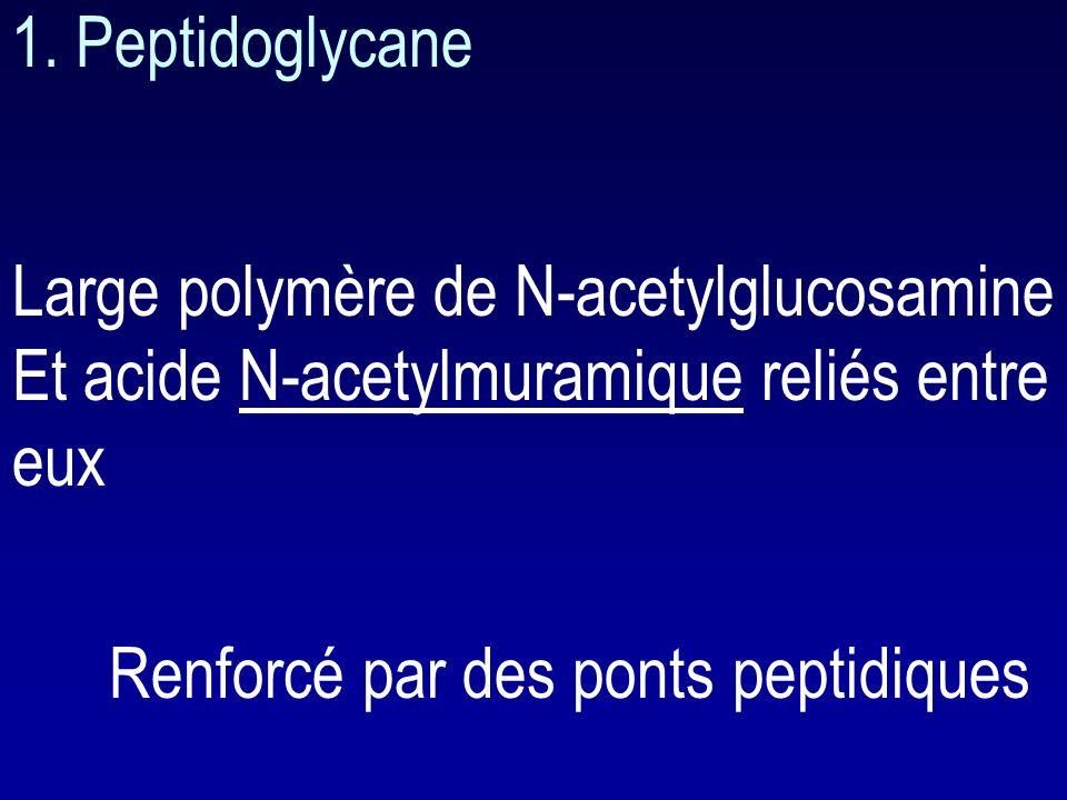 1. Peptidoglycane Large polymère de N-acetylglucosamine. Et acide N-acetylmuramique reliés entre eux.