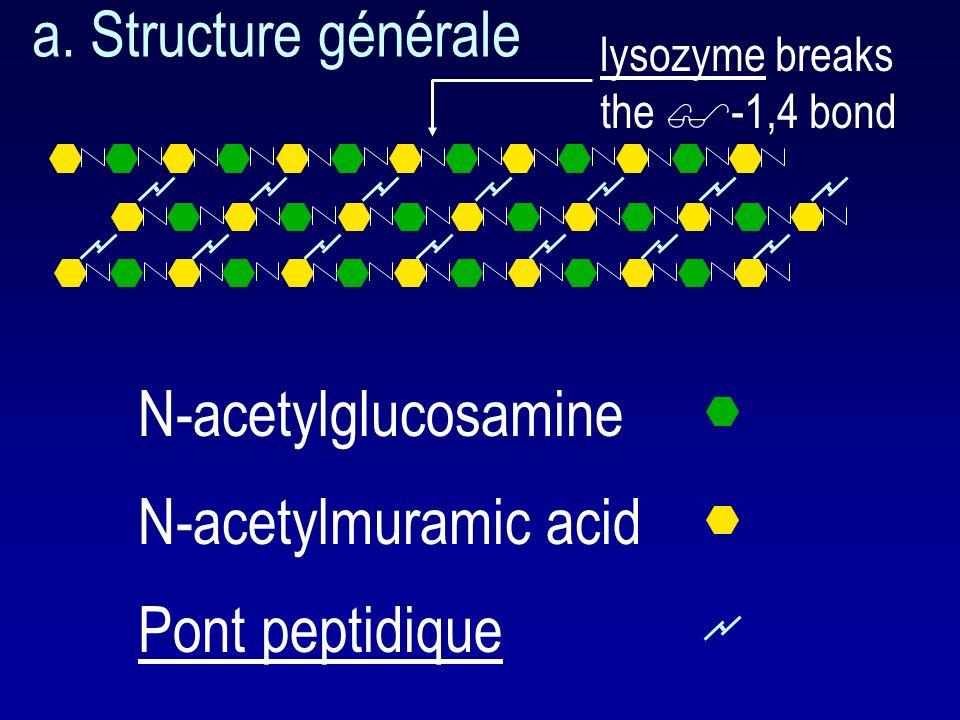 a. Structure générale N-acetylglucosamine N-acetylmuramic acid