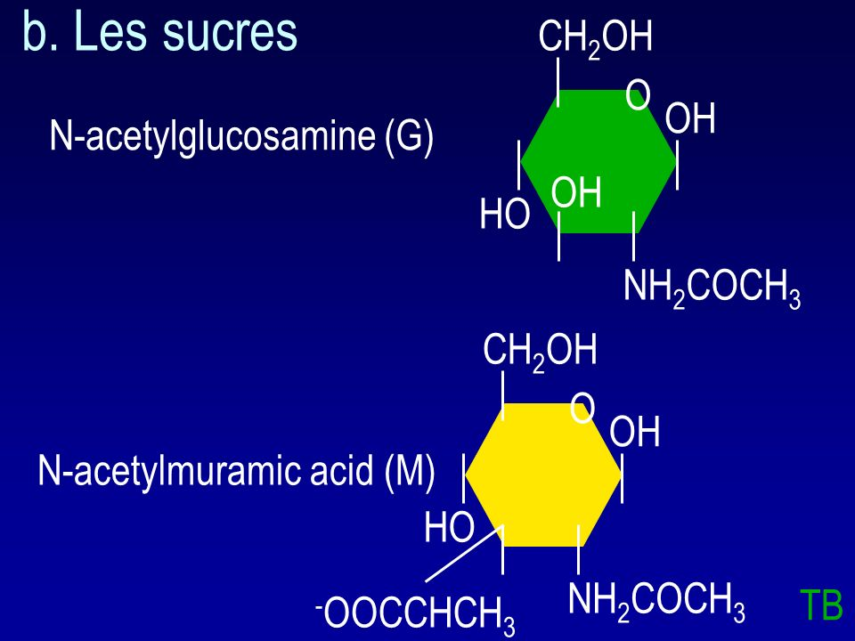 b. Les sucres CH2OH O OH N-acetylglucosamine (G) OH HO NH2COCH3 CH2OH