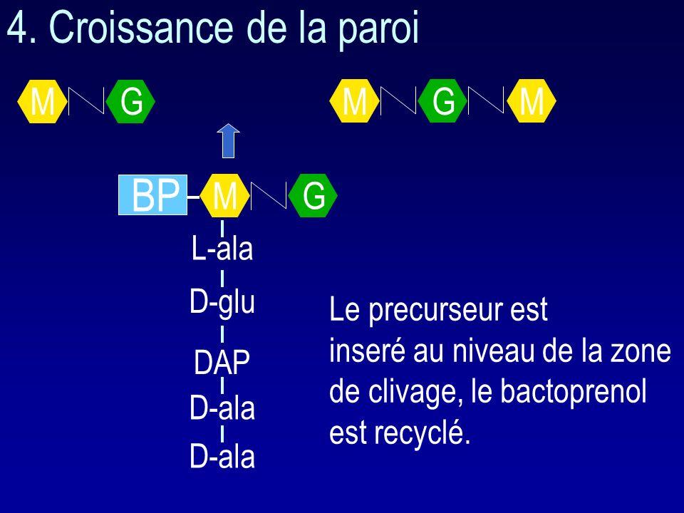 4. Croissance de la paroi BP M G M G L-ala D-glu Le precurseur est