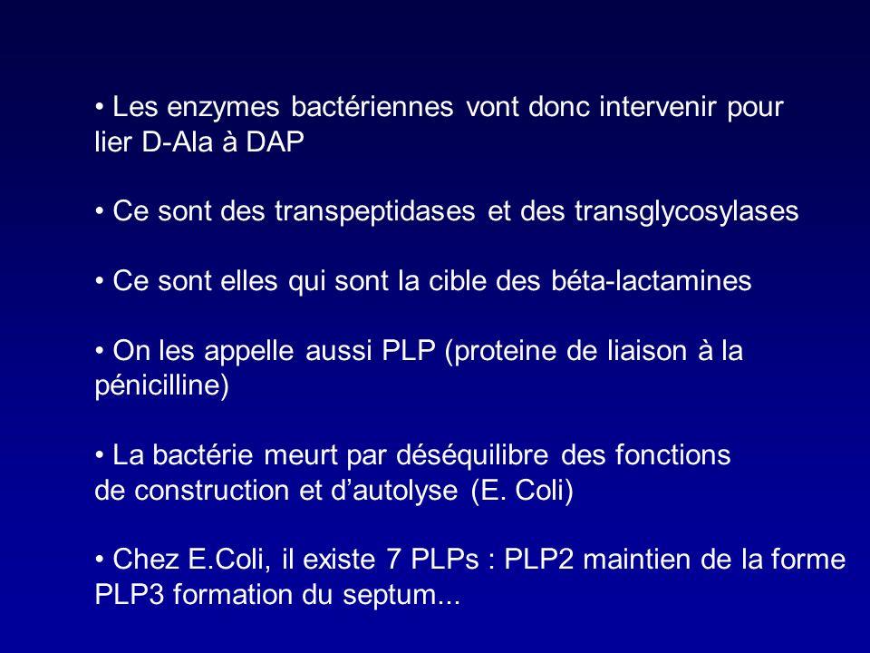 Les enzymes bactériennes vont donc intervenir pour lier D-Ala à DAP