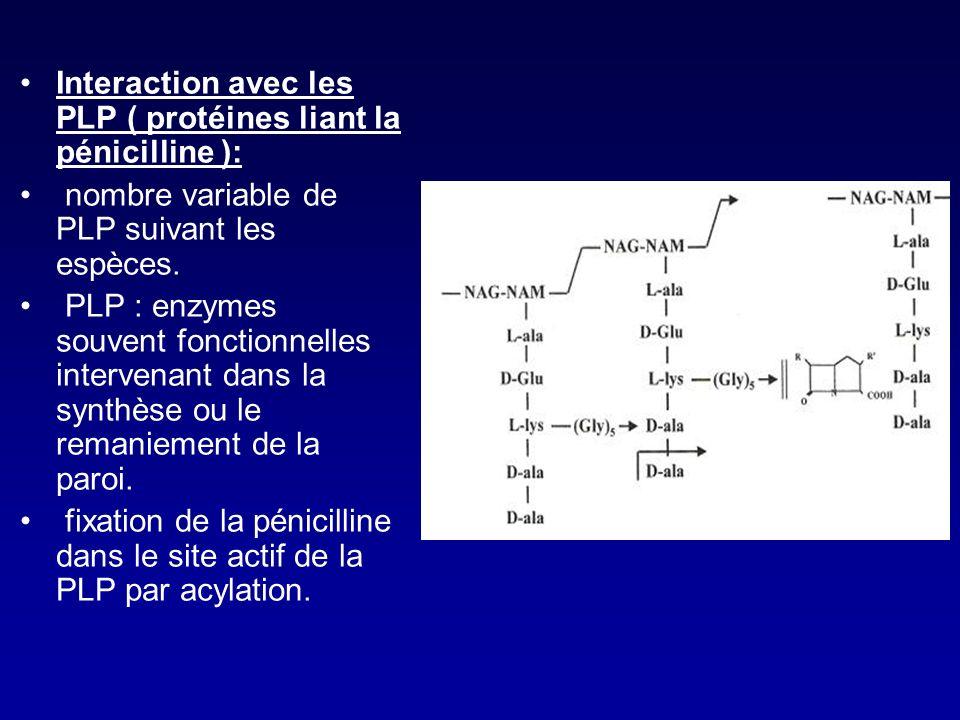 Interaction avec les PLP ( protéines liant la pénicilline ):