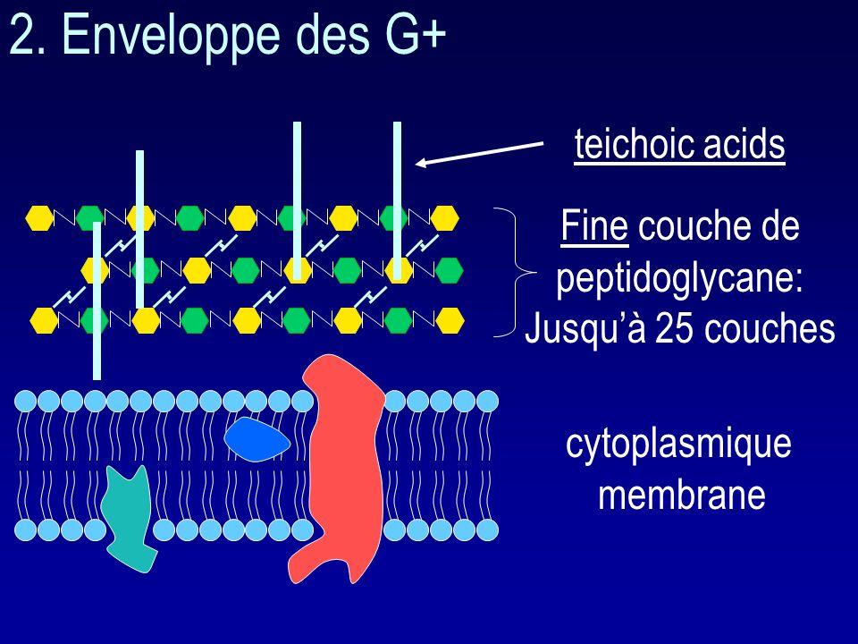 2. Enveloppe des G+ teichoic acids Fine couche de peptidoglycane: