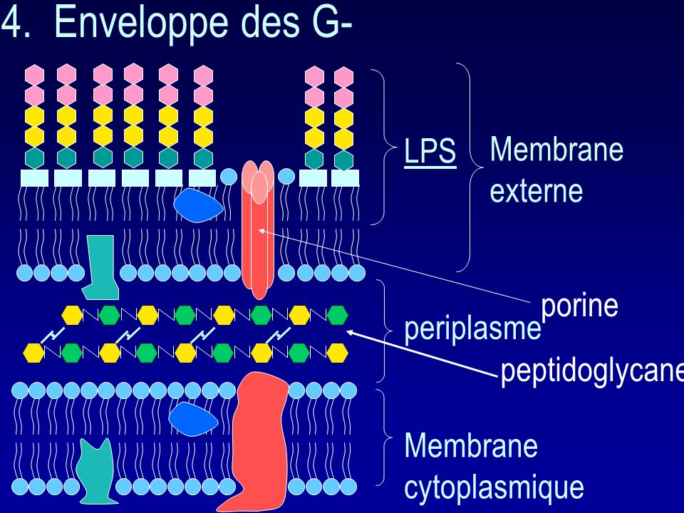 4. Enveloppe des G- LPS Membrane externe porine periplasme