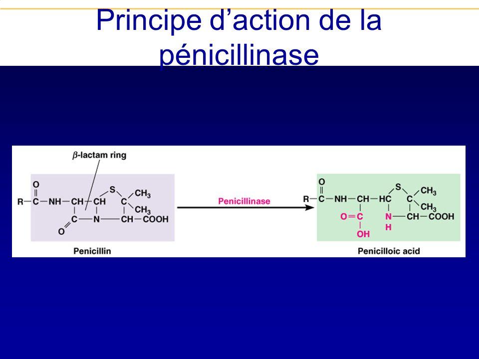 Principe d'action de la pénicillinase
