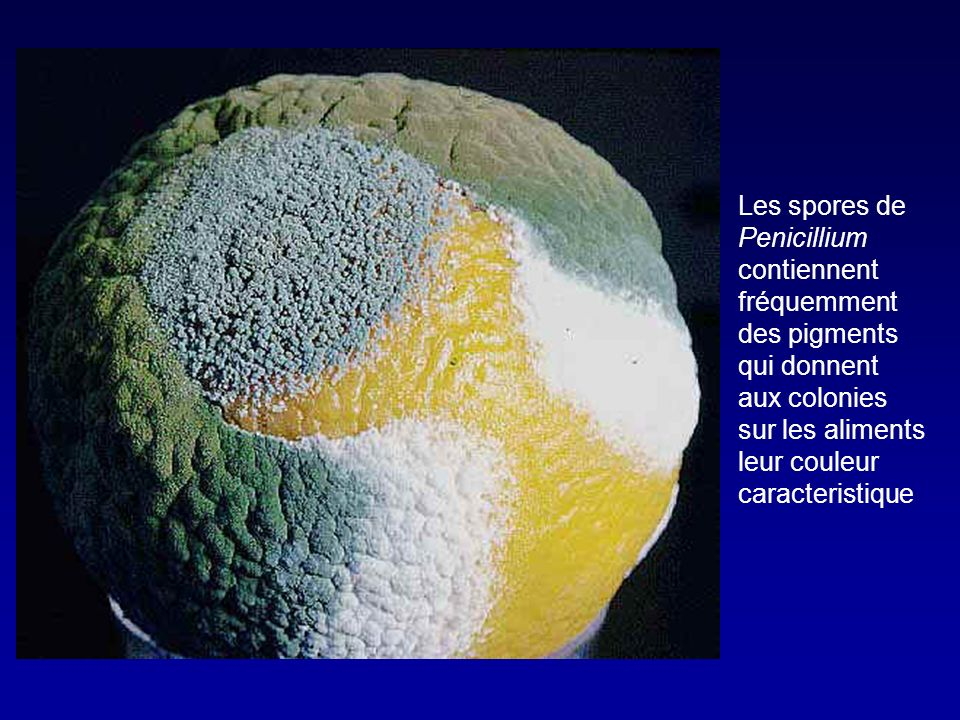 Les spores de Penicillium contiennent fréquemment des pigments qui donnent aux colonies sur les aliments leur couleur caracteristique