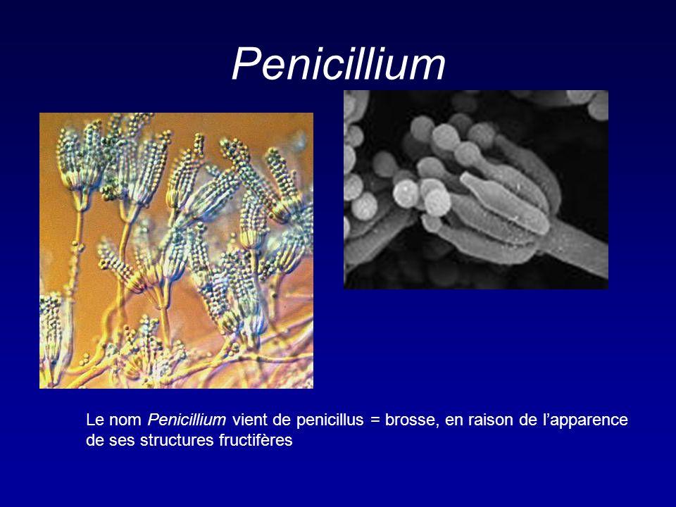 Penicillium Le nom Penicillium vient de penicillus = brosse, en raison de l'apparence de ses structures fructifères.