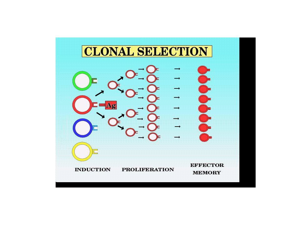 Chaque lymphocyte T ou B a une spécificité restreinte à un seul déterminant antigénique