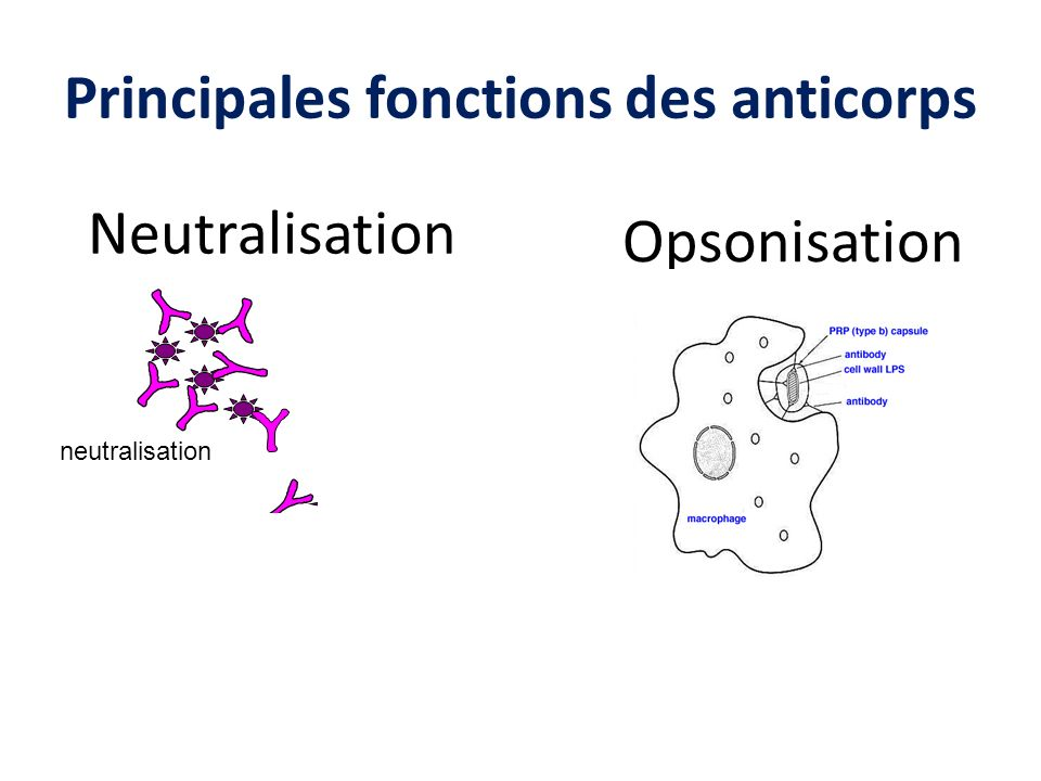 Principales fonctions des anticorps