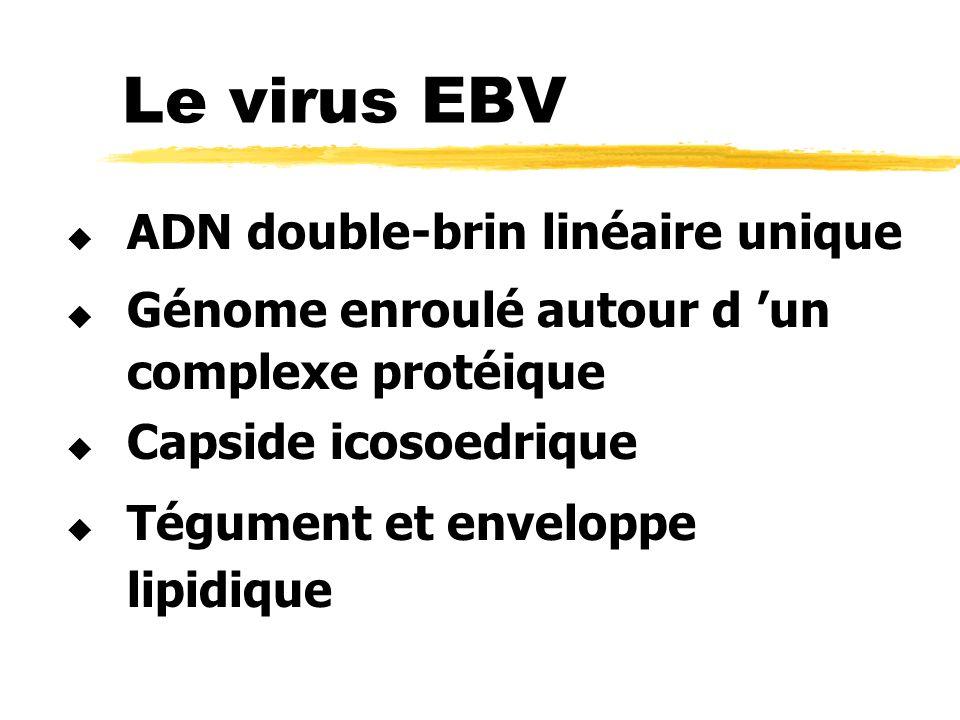 Le virus EBV complexe protéique lipidique