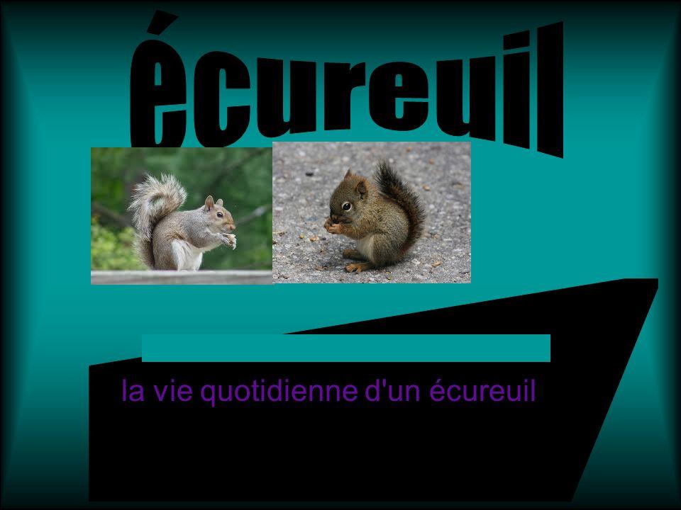 la vie quotidienne d un écureuil