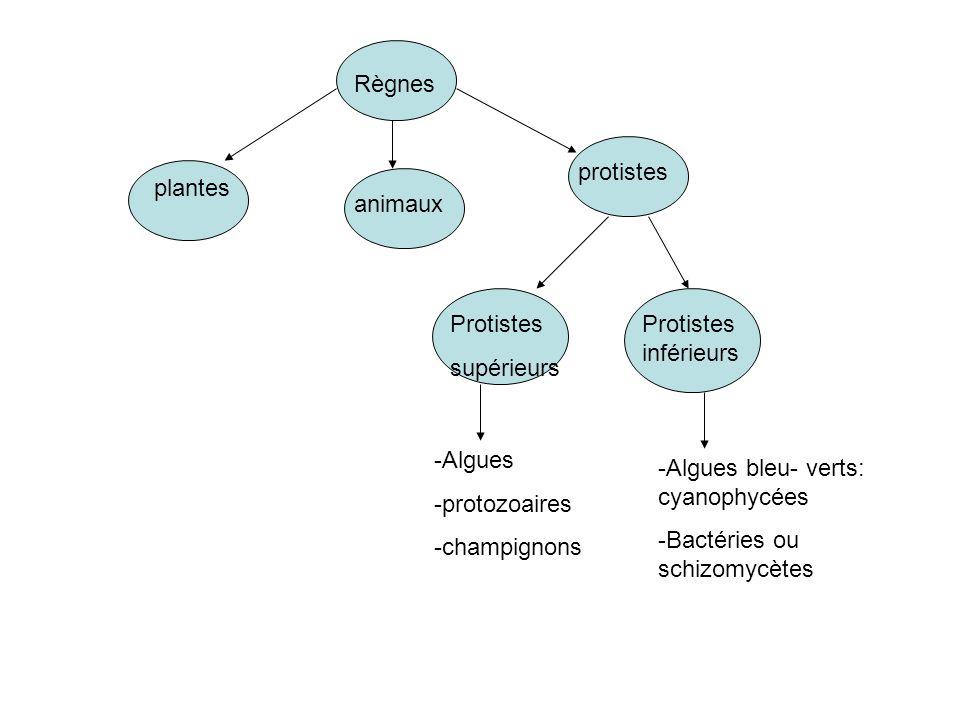 Règnes protistes. plantes. animaux. Protistes. supérieurs. Protistes inférieurs. -Algues. protozoaires.