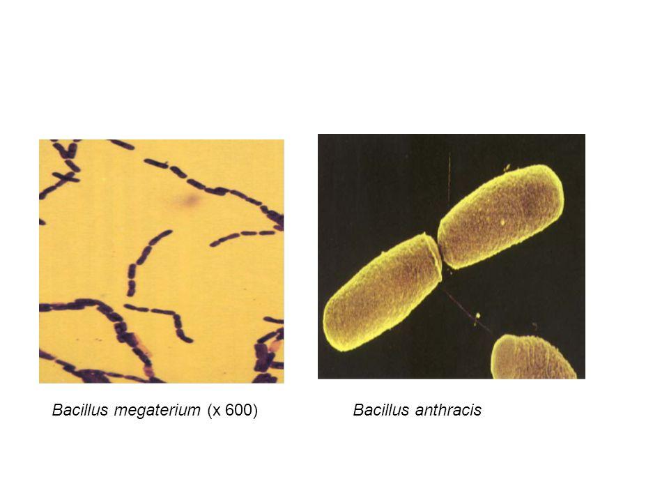 Bacillus megaterium (x 600)